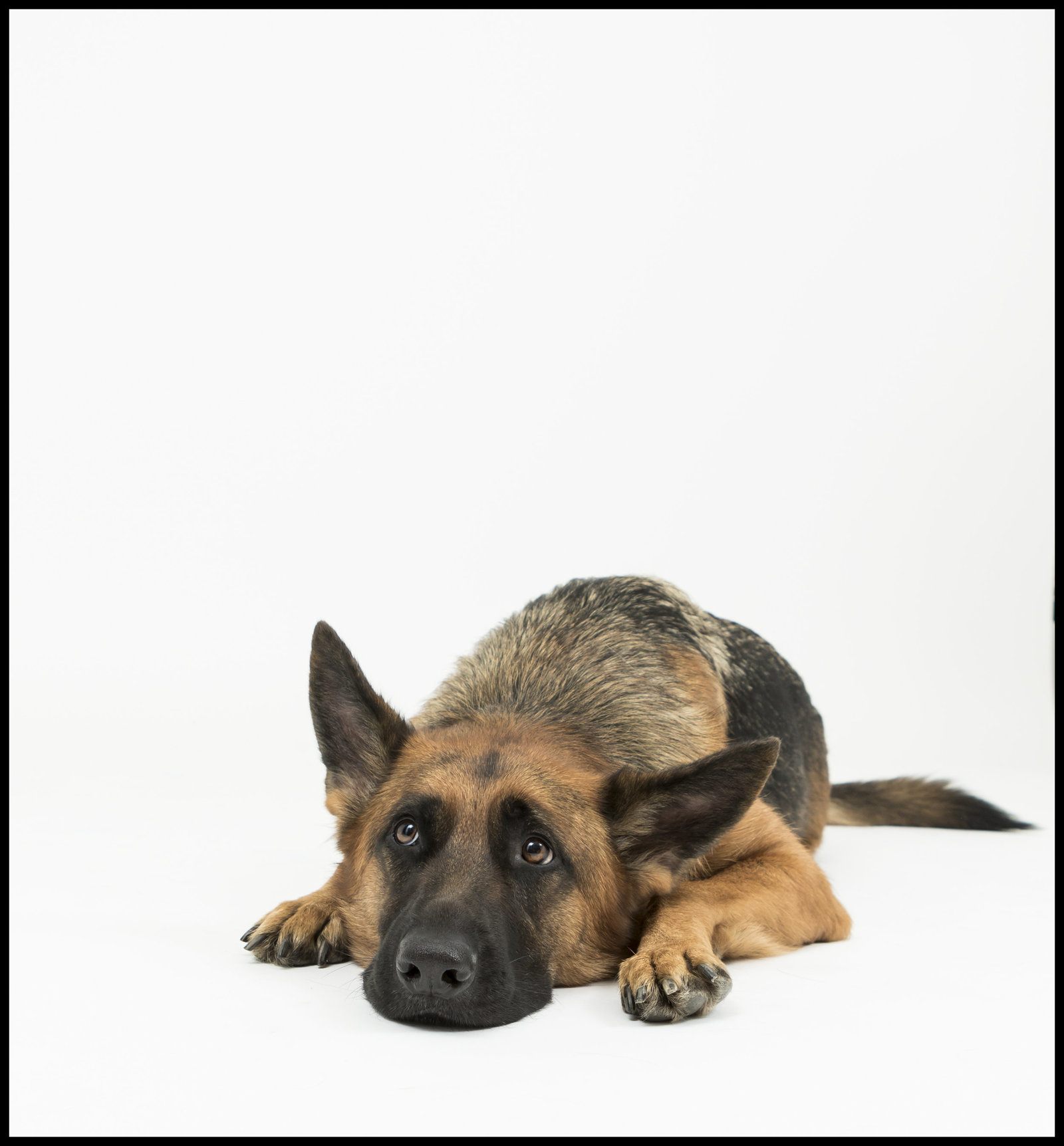 German shepherd studio picture
