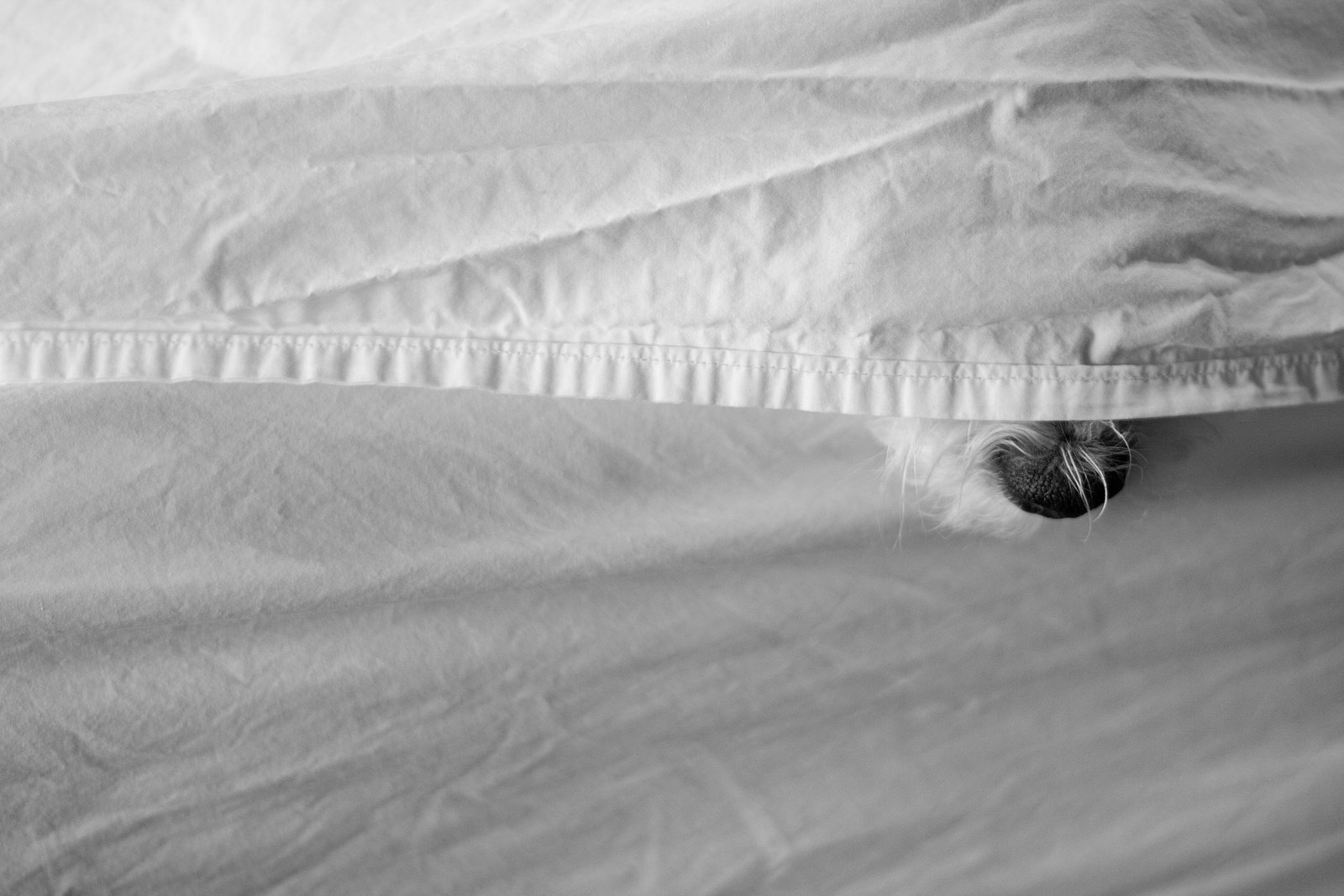 Sweet dog hiding under covers photo