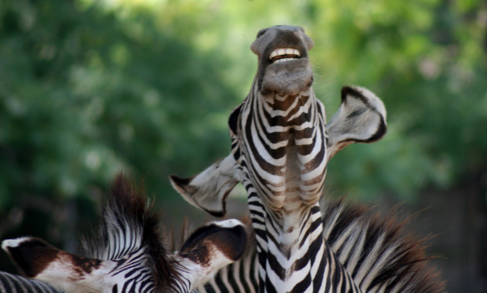 laughingzebra