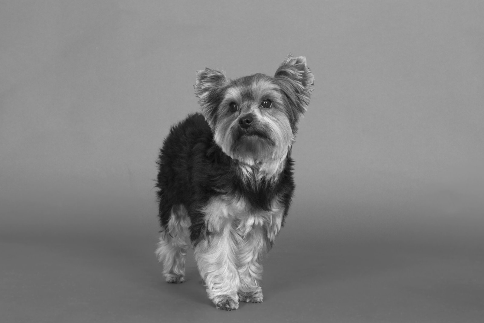 Yorkie studio pet picture