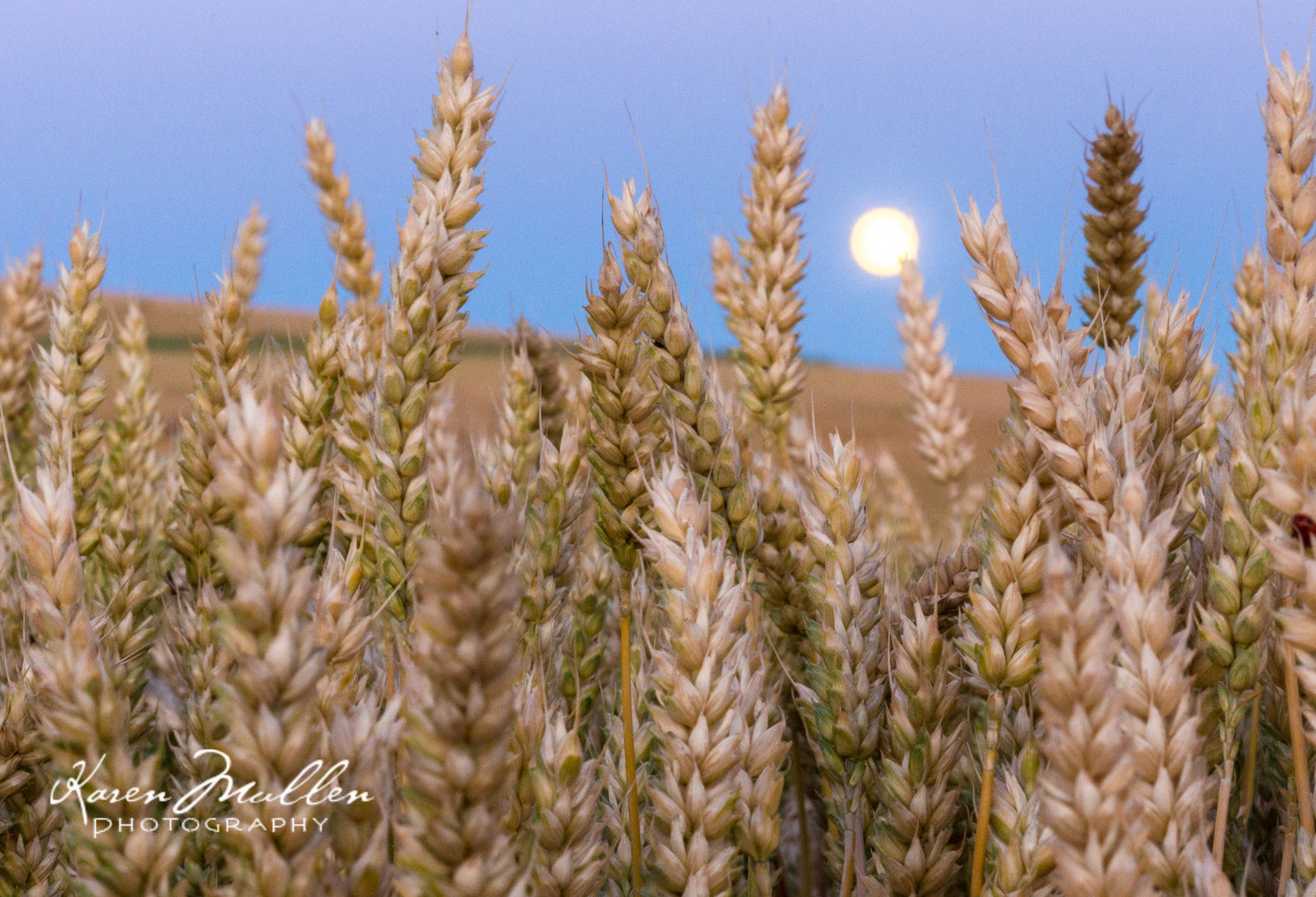 Moon and wheat