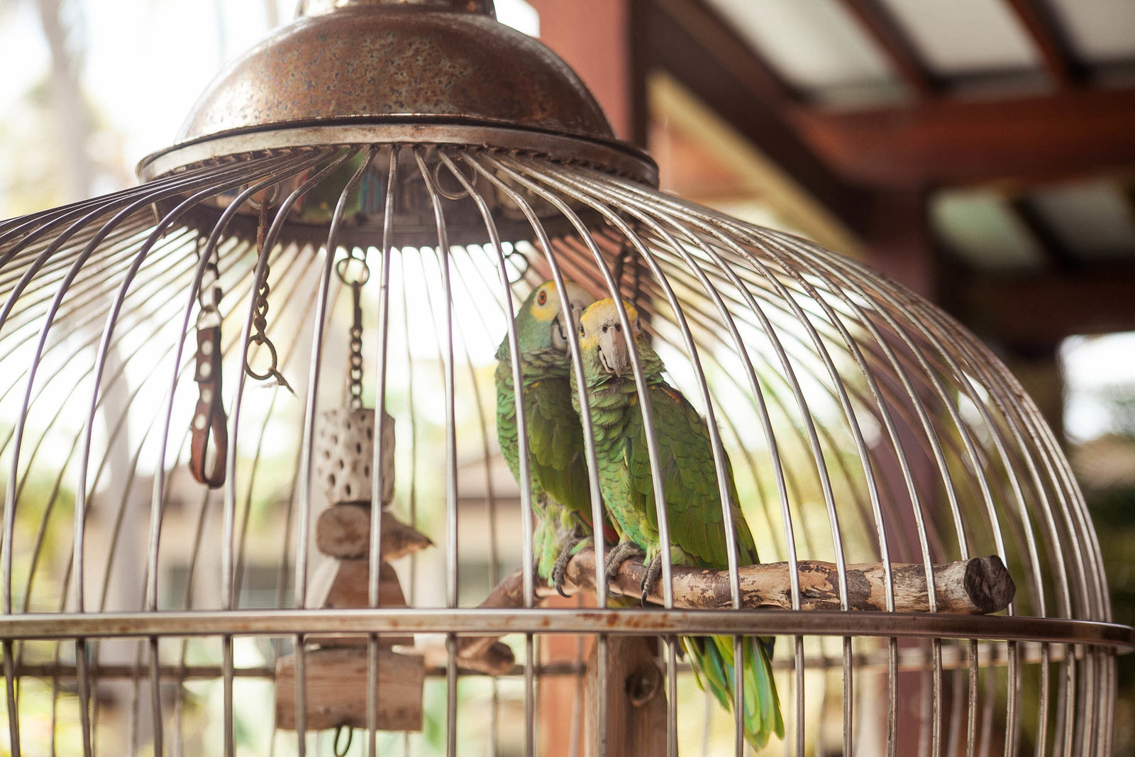 yellow-crown-parrots-cage-travel-aruba-kate-timbers-photography-811