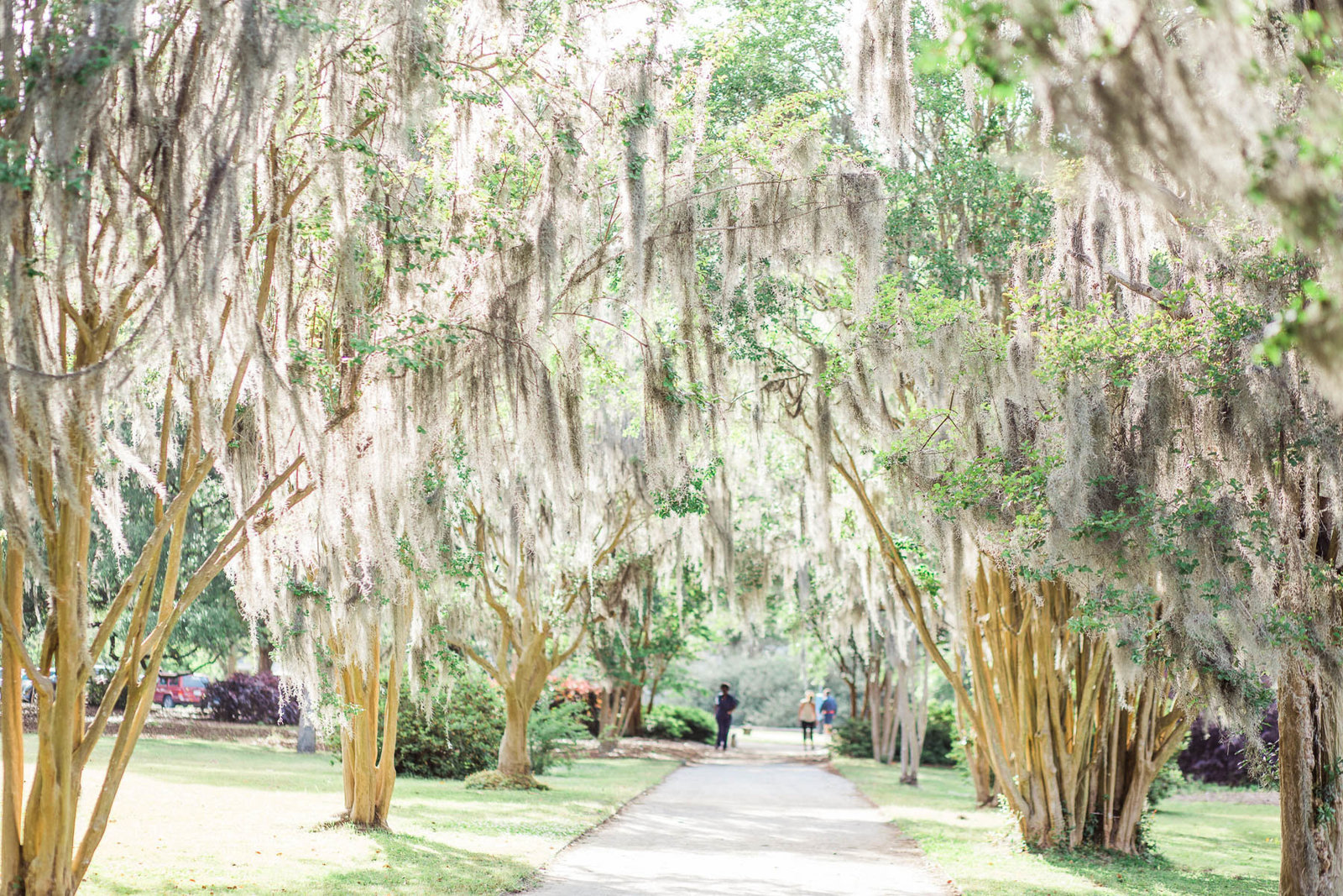 Pathway of trees have spanish moss hanging from them, Hampton Park, Charleston, South Carolina