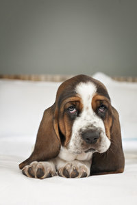 Basset Hound Puppy on bed photo