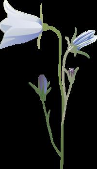 Bluebell_1
