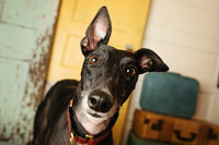 adopted rescue greyhound studio photography LUV My Dog Day