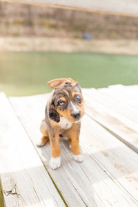Catahoula Heeler Shepard Mix