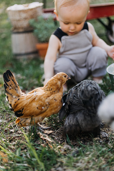 Harry-chickens-one1257