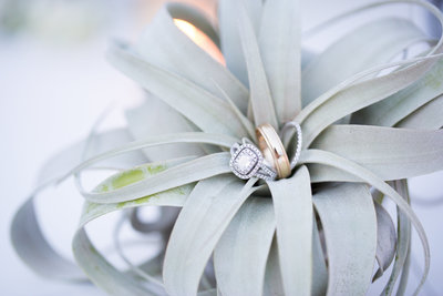 Air plant with rings
