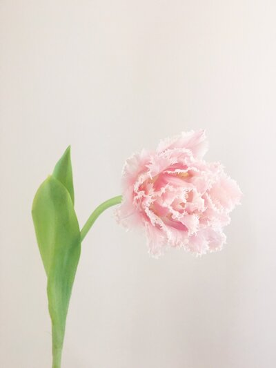 Pink Frilly Tulip