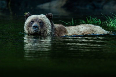 1-2---Traveljar---Grizzly-Bear-in-The-Great-Bear-Rainforest---Nelis-