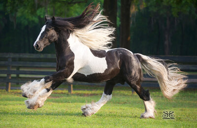 pinto gypsy vanner stallion photography