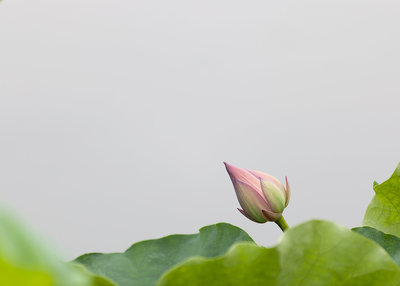 lotus-blooming