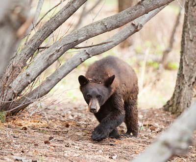 Wild-Black-Bear-Wedding-Crasher-at-the-Pines-at-Genesee-Wedding-Venue-Denver-Colorado_preview