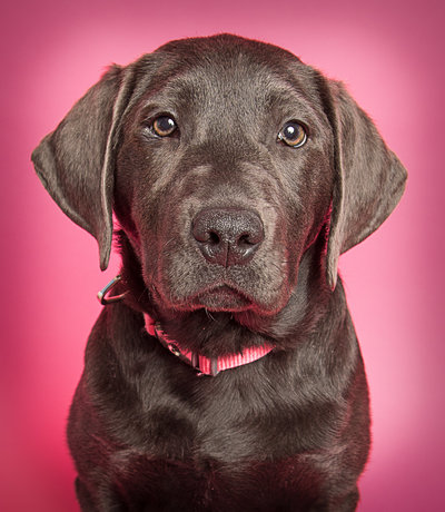 Black Lab Picture - Head On