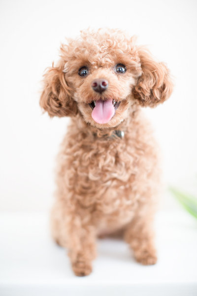 Pocket the toy poodle smiling sitting on white bench