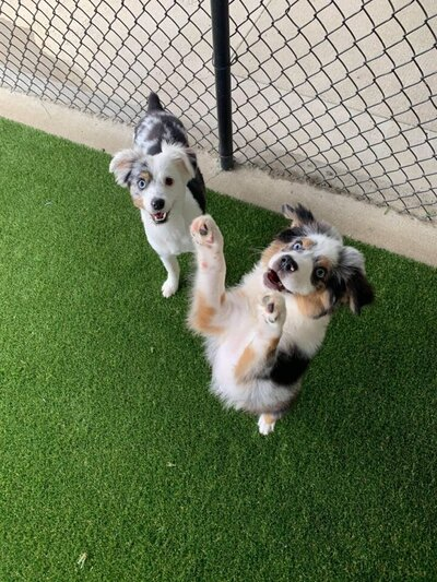 2 Aussies Play at For Paws Daycare