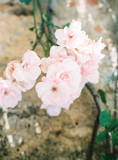 Image of roses growing on wall in Monteriggioni, Tuscany. Fine art travel film photography by Rosie Reports.