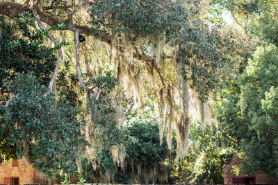 Sun shines through spanish moss, Boone Hall Plantation, Charleston Wedding photography.
