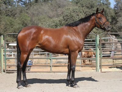 Eleanor, Event Horse Prospect for Sale