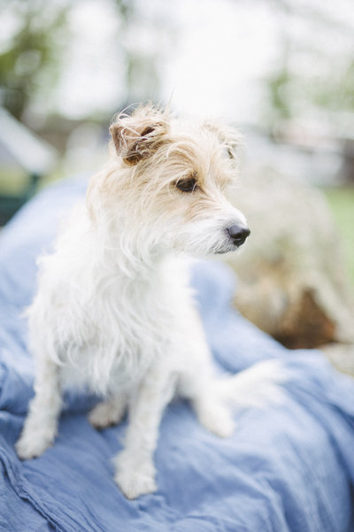 jack russell terrier dog photography plentytodeclare photography-1