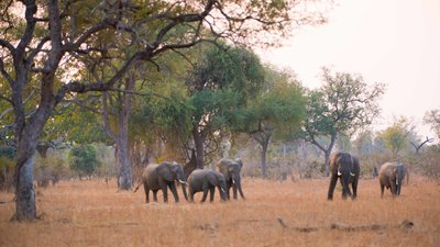 Elephants South Luangwa-1 copy