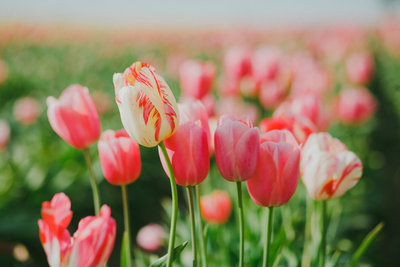 Wooden Shoe Tulip Farm in Woodburn, Oregon by Susie Moreno Photography