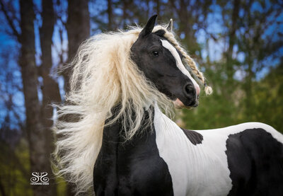 stunning-steeds-photo-pinto-gypsy-vanner-stallion