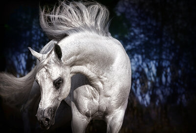 arabian stallion promotional photographer