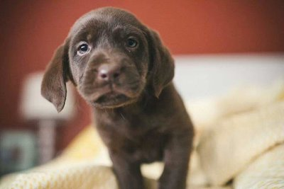 chocolate pup