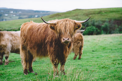 Highland Cow Scotland  by Amanda Dumouchelle Photography