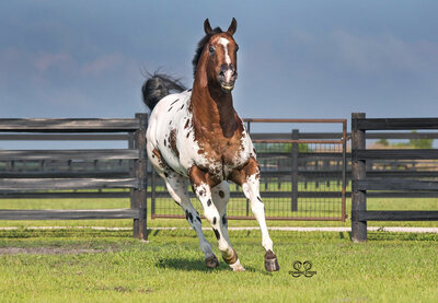 appaloosa stallion horse photography