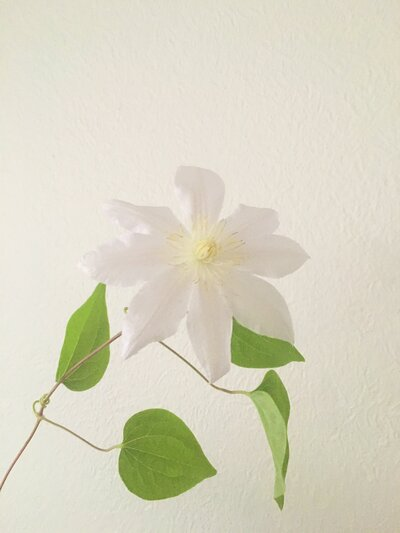 Clematis - White