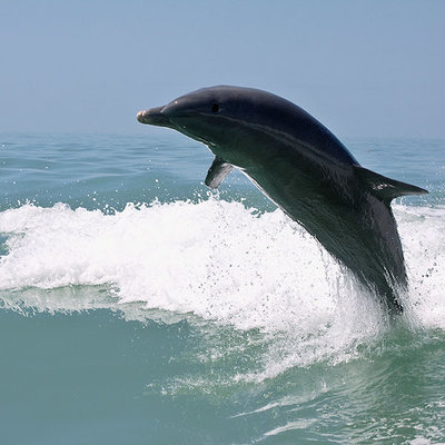 A dolphin leaps from the water outside Fort Myers, Florida