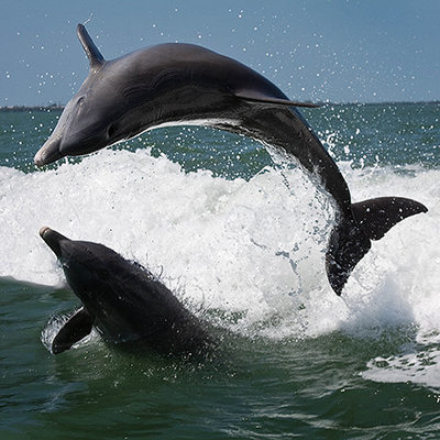 Two dolphins jump in the waters off Sanibel Island, FL captured by photographer Karissa Van Tassel