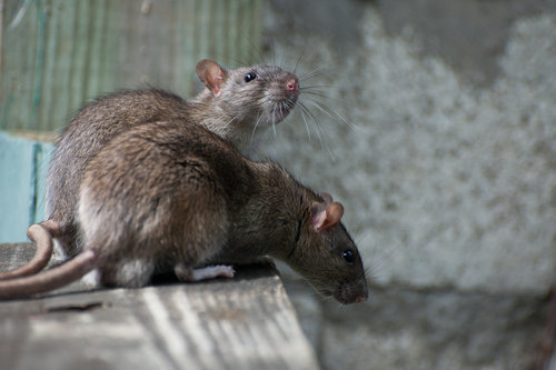 Get rid of rats with the Green Queen eco-friendly pest control.