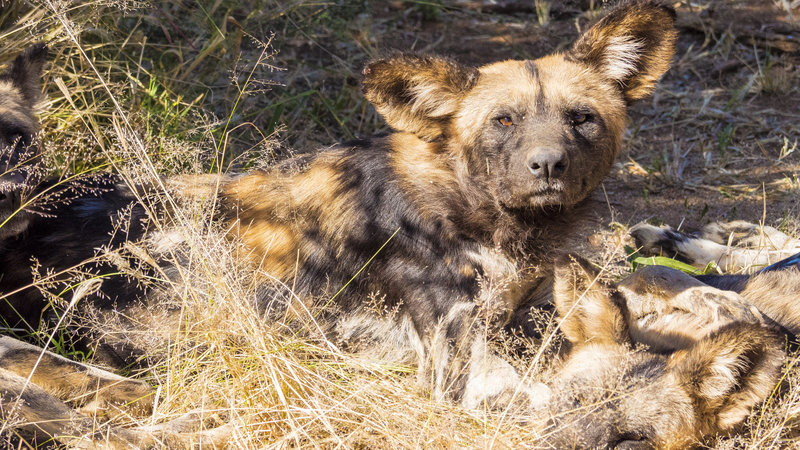 In the field with Wild Dogs in Namibia while filming with Omujeve Safaris and Raven 6 Studios