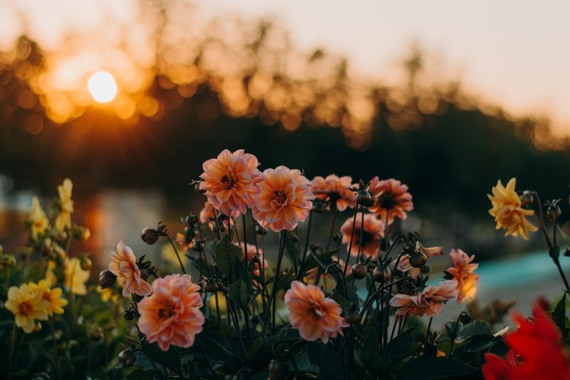 Sunset in a fiel of garden flowers