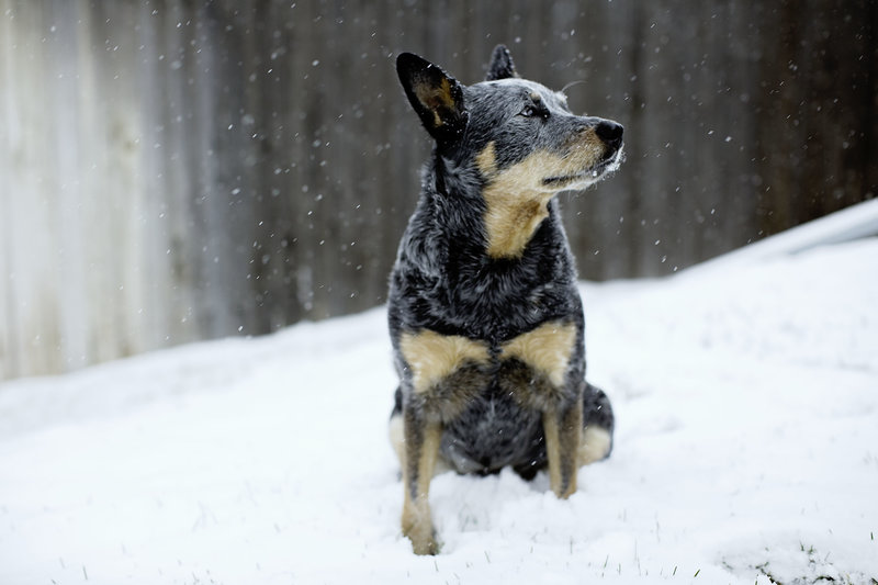 Blue Heeler Australian Cattle Dog in Snow