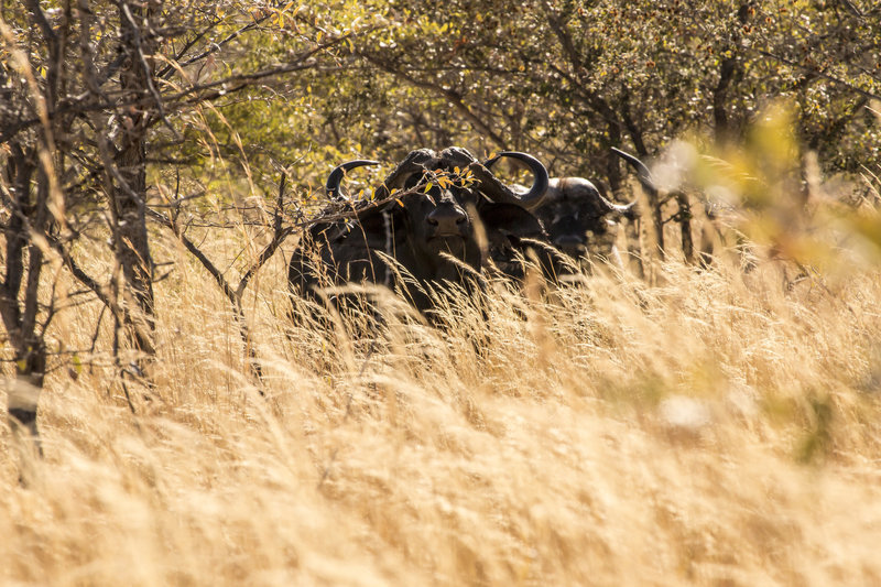 Raven 6 Studios in the field in Namibia with Black death, the Cape Buffalo.