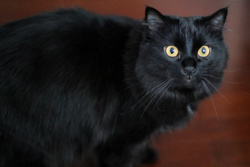 Black Ragamuffin Cat by Jill Blue Photography Atlanta photographer
