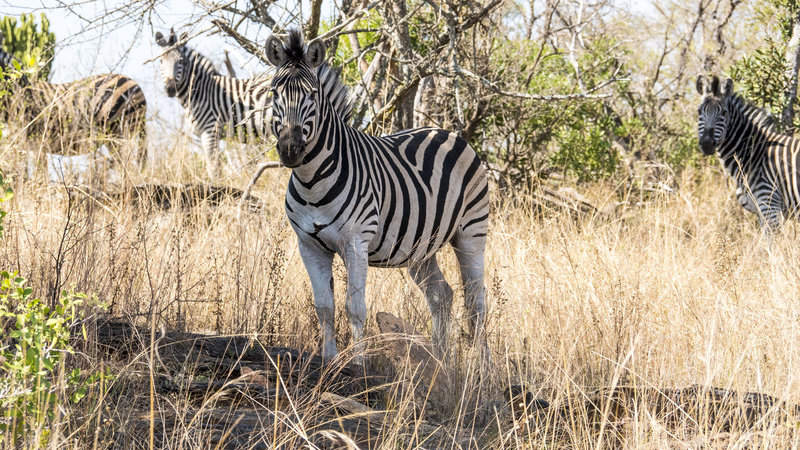 In the field with wild Zebras in Namibia with Omujeve Safaris and Raven 6 Studios