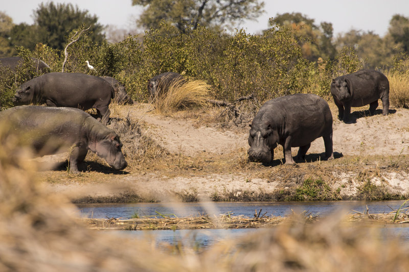 In the field with hippos in Namibia with Raven 6 Studios and Omujeve Safaris