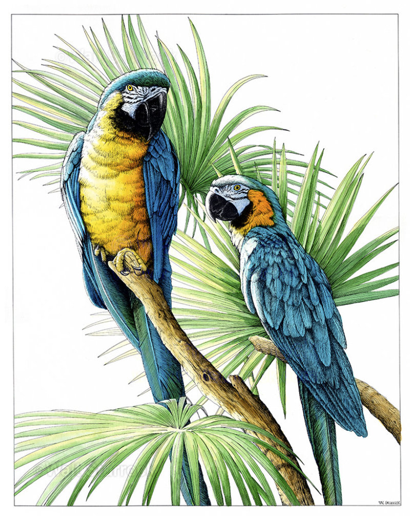 pen-and-ink-watercolor-macaws-pen-amp-ink-and-watercolor-15-x-20-waltsturrock