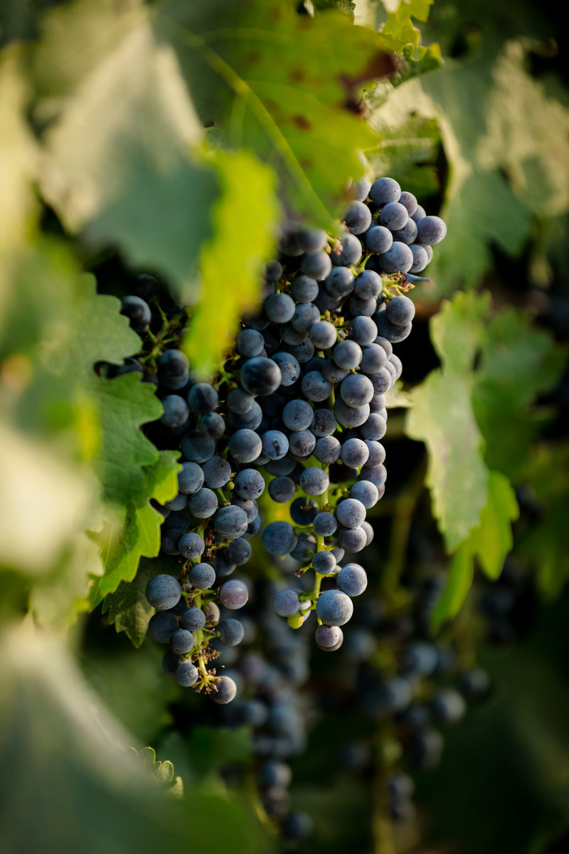 oyster_ridge_grape_vines_santa_margarita_ca_by_wedding_photographer_cassia_karin_photography-102