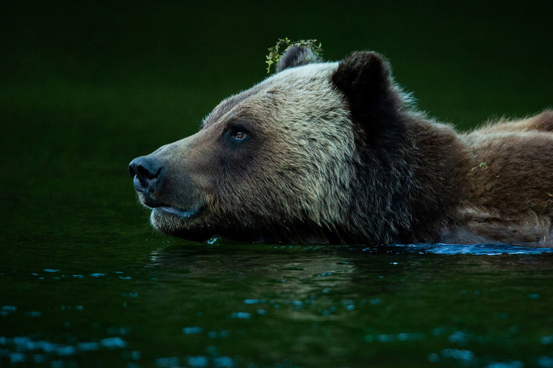 2-2---Traveljar---Grizzly-Bear-in-The-Great-Bear-Rainforest_nelis-