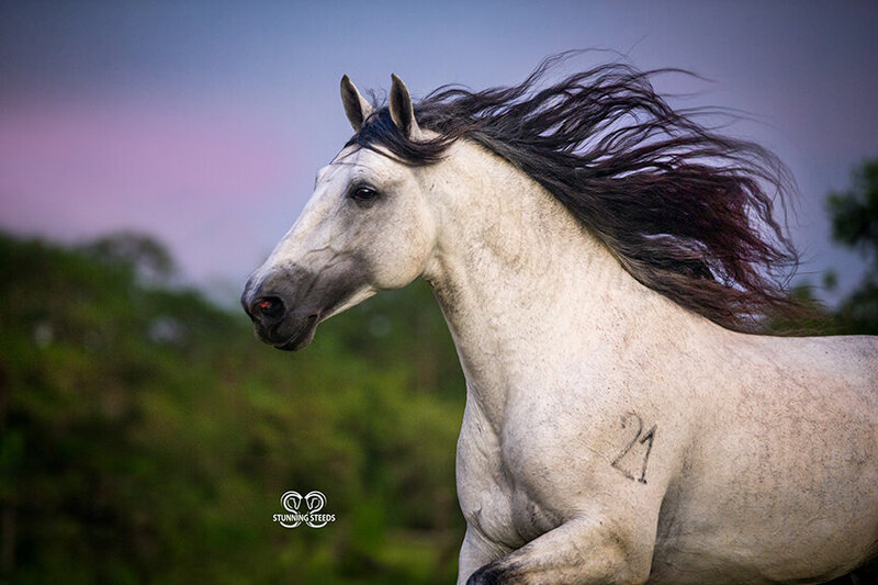 StunningSteedsPhoto-Andalusian-stallion-8049