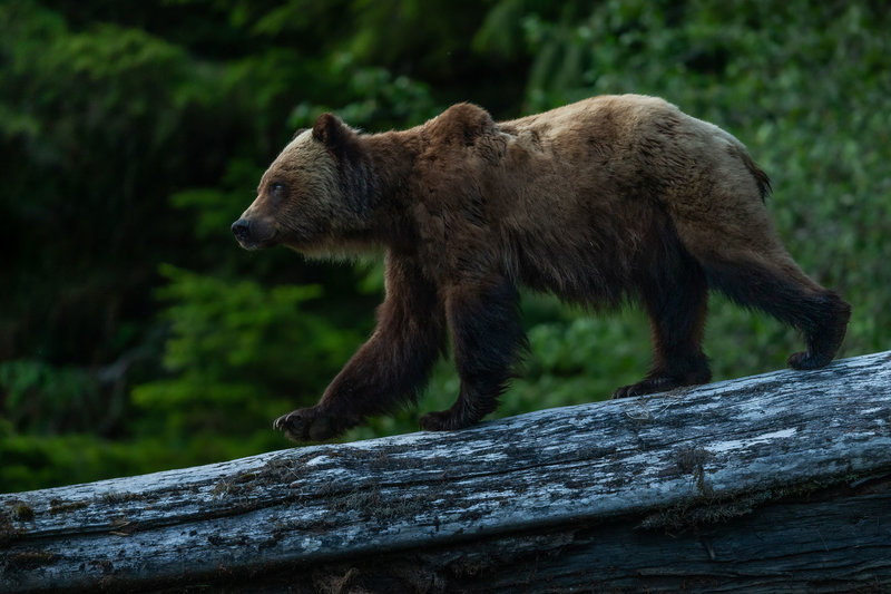 3-2---Traveljar---Grizzly-Bear-in-The-Great-Bear-Rainforest_Nelis