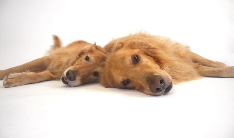 Studio photo of two dogs by Allison Shamrell