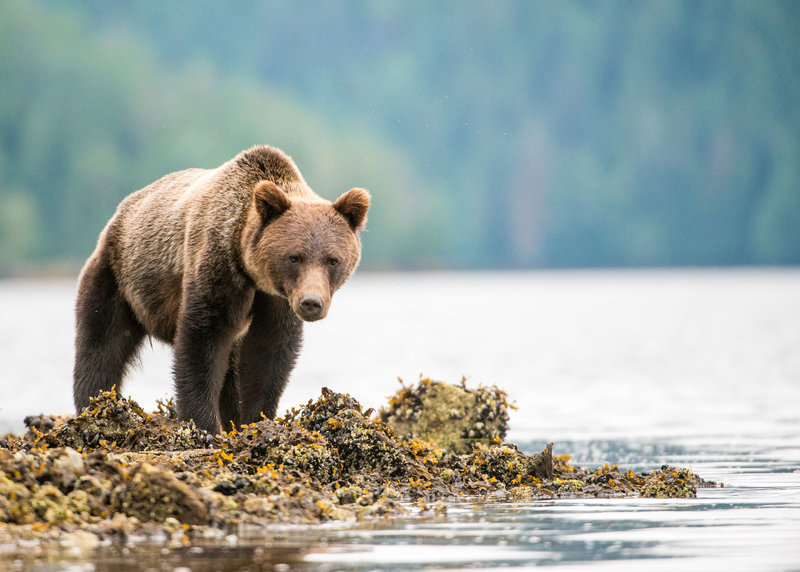 5-2--Traveljar---Grizzly-in-the-Grate-Bear-Rainforest_Andrew